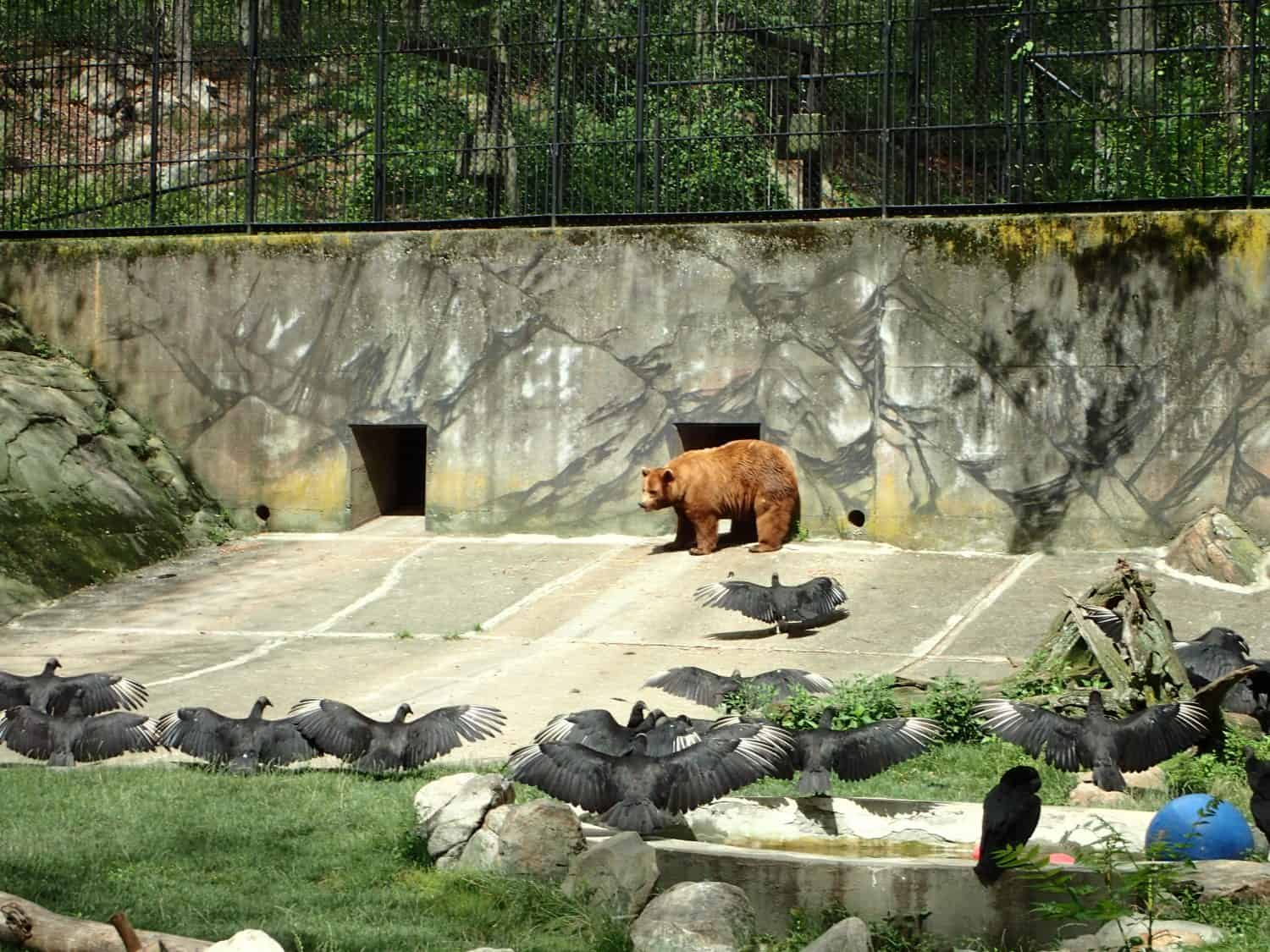 Bear and black crows spanning their wings in the Trail Side Zoo