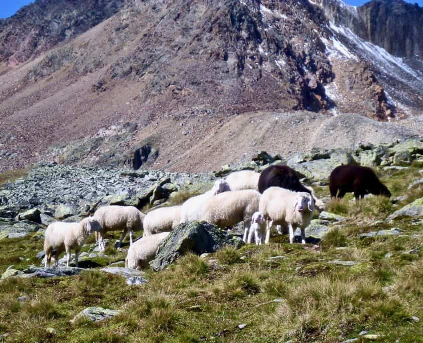 "The ""locals"" - some sheep in the mountains"