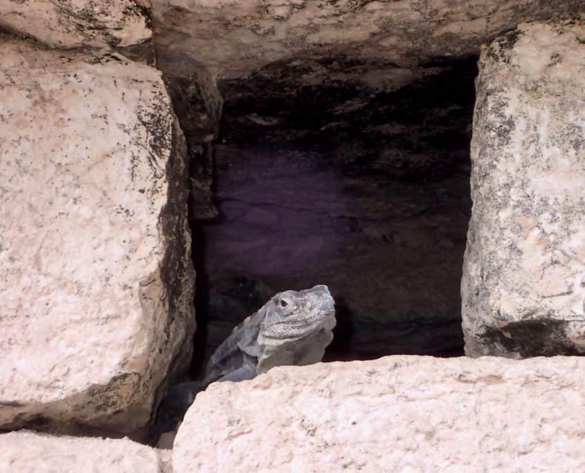 A lizard in a wall seen at Chichén Itzá