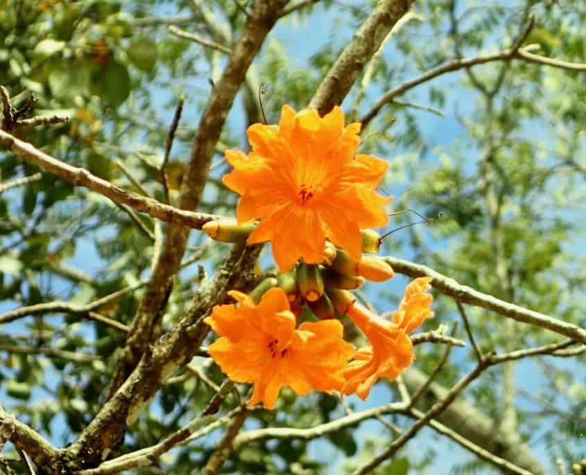 Chichén Itzá - nice orange flower