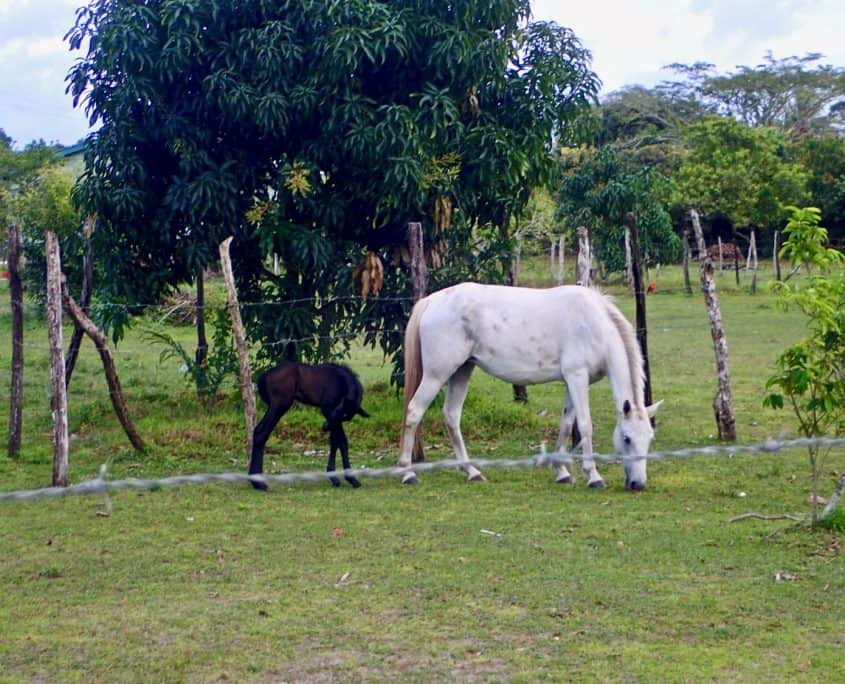 Bicycle Touring through Belize - horses at Crooked Tree
