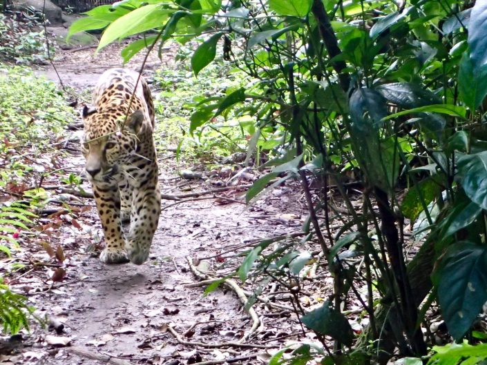 Bicycle touring through belize - Jaguar at Belize Zoo