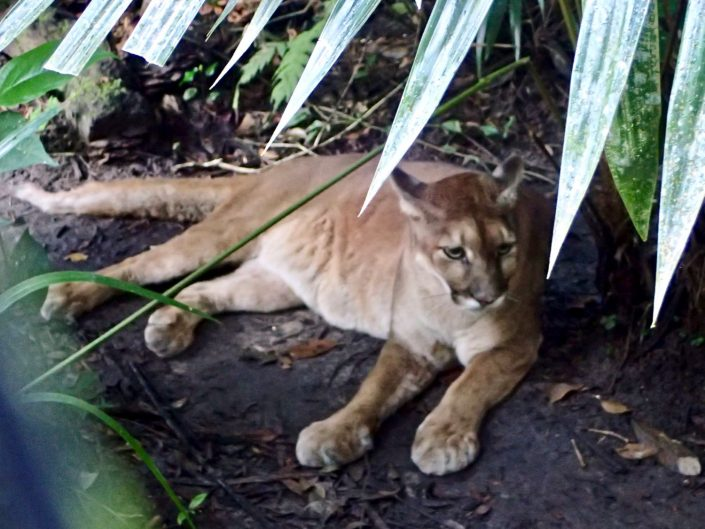 Bicycle touring through Belize - Puma at Belize Zoo
