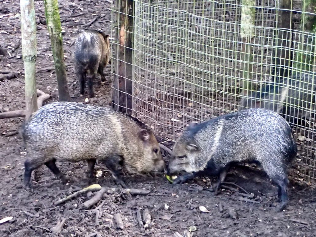 Bicycle touring through belize - Pigs at Belize Zoo