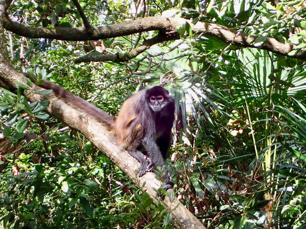 Bicycle touring through Belize - spider monkey at Belize Zoo