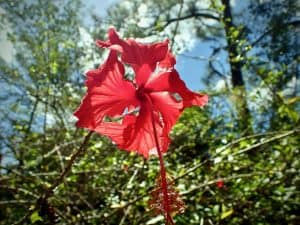 Fincy Ixobel - bright red Rhododendron flower