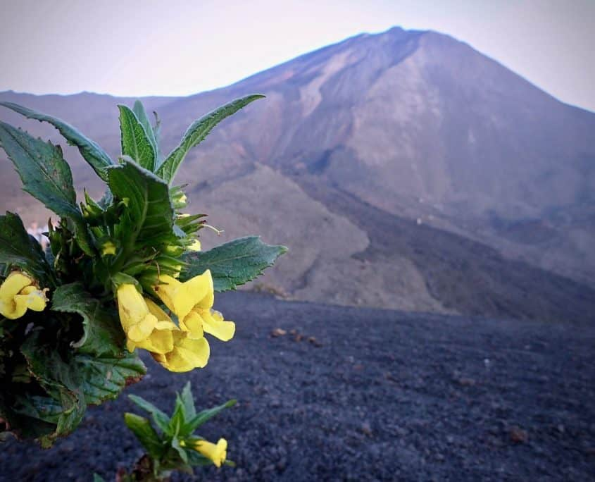 A nice yellow flower growing on the rich volcanic soil, in the background is volcano Pacaya