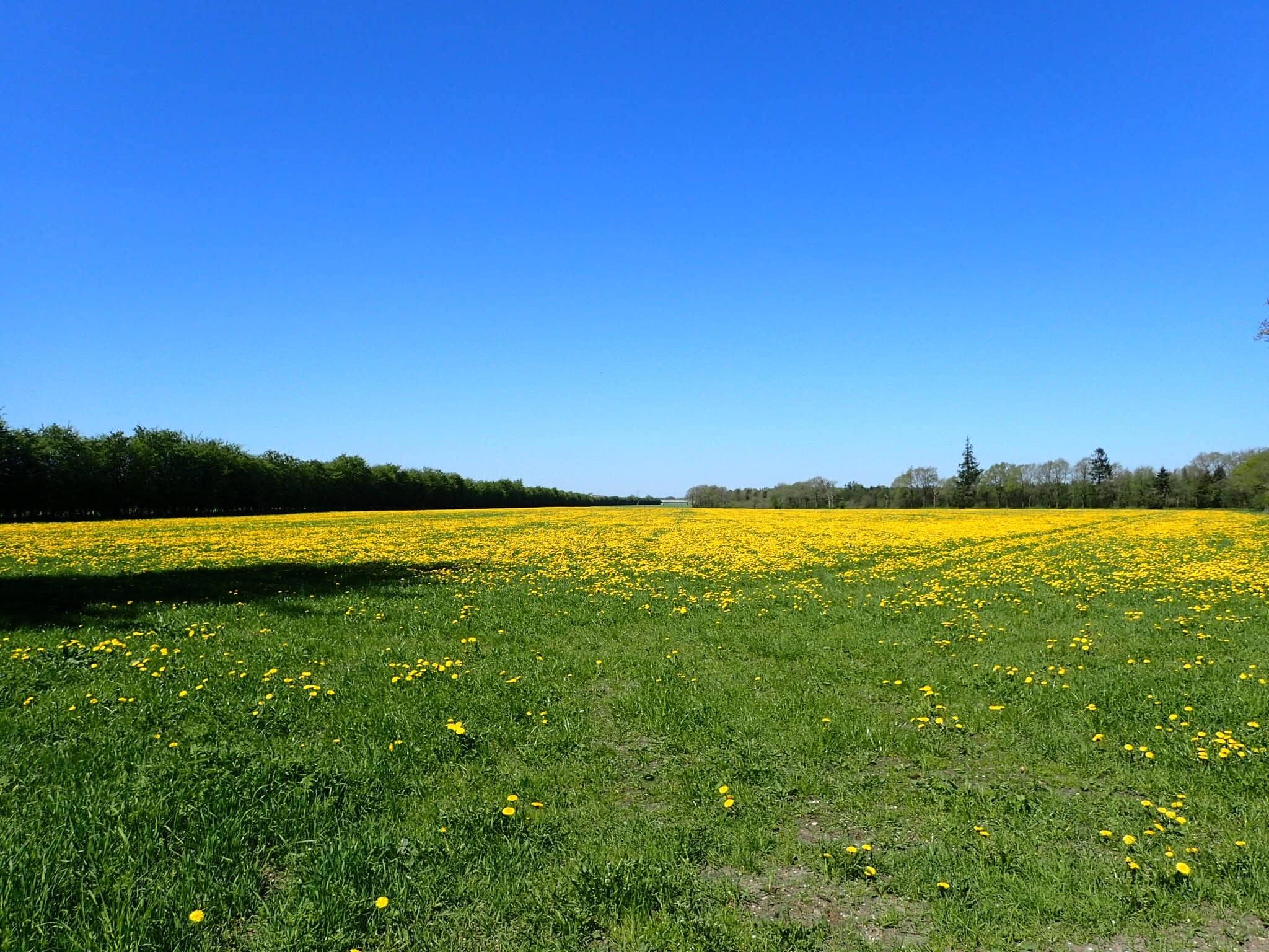 Field of dandelion flowers