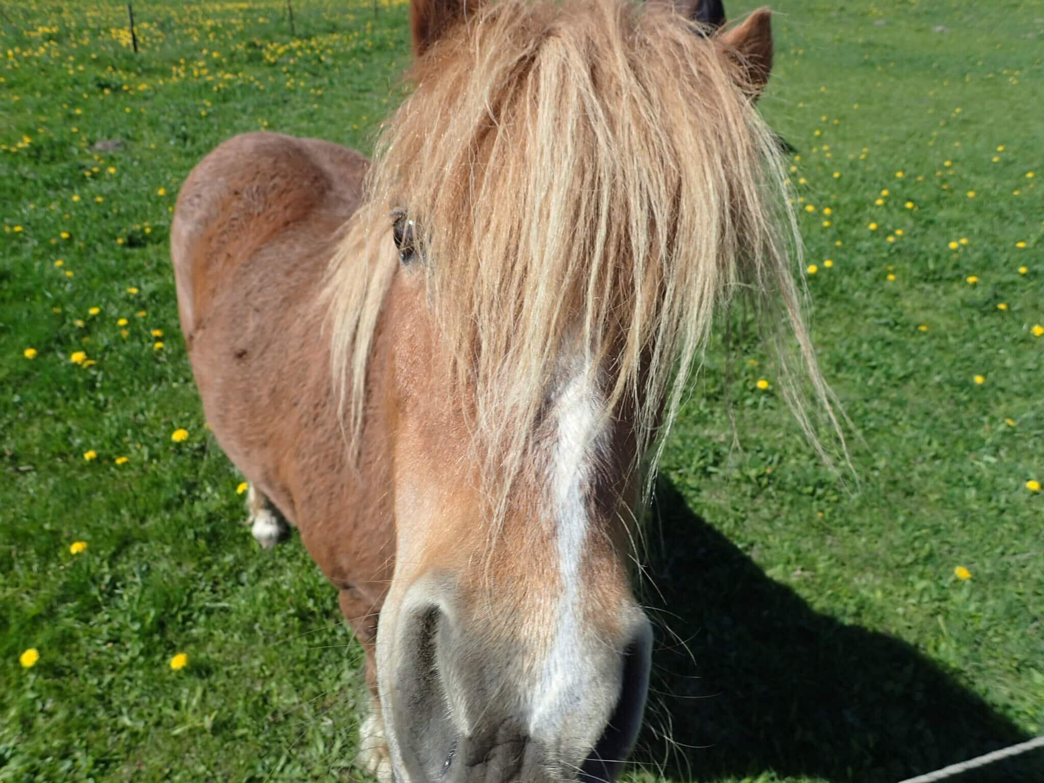 A curious mini horse